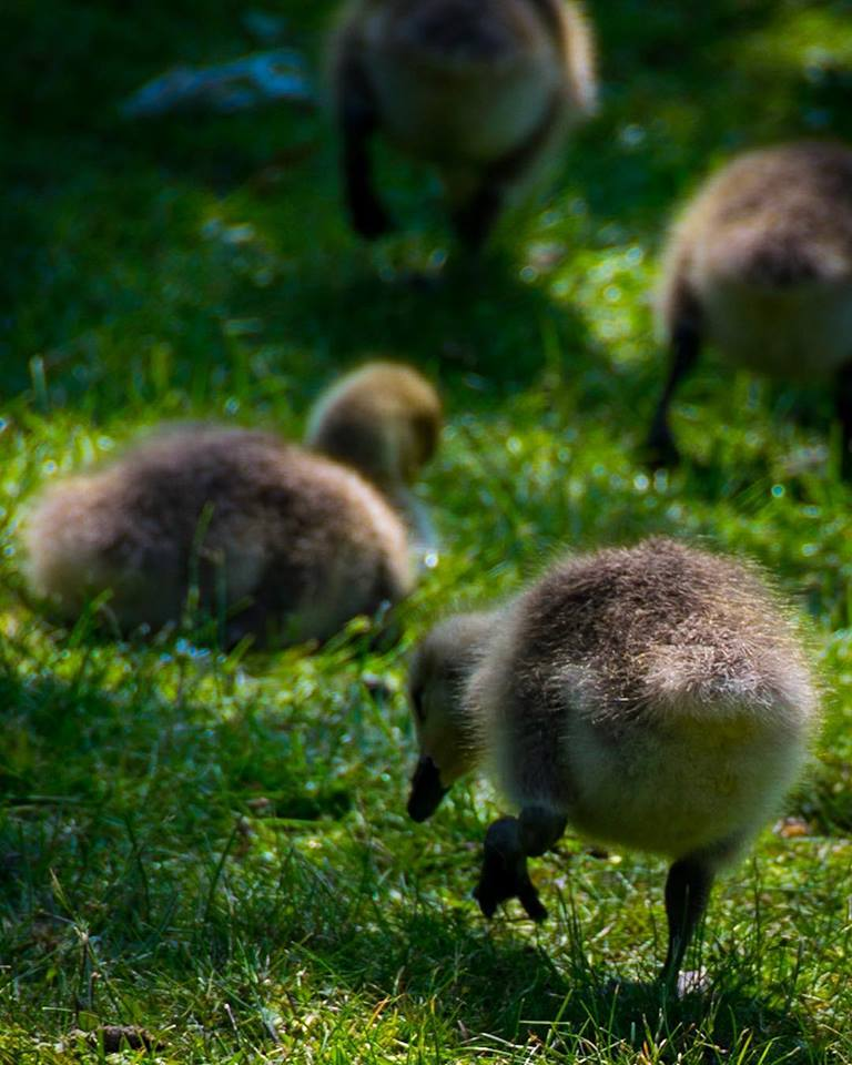 gosling, goslings, duck, ducklings, waddle, photography, wildlife, photo